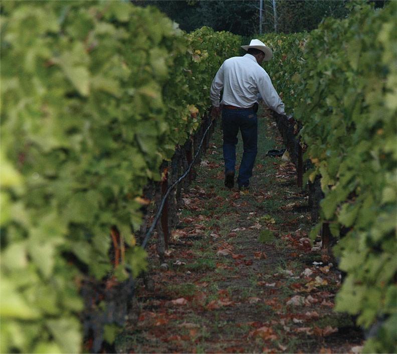 Man in vineyards